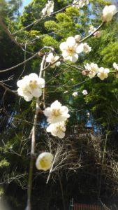 S 7567714642712 169x300 - 梅の花