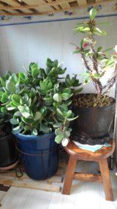 2854 169x300 - 植木の冬支度と三毛猫椅子