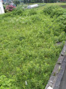 R3.7.13 225x300 - 寸沢嵐で草刈り